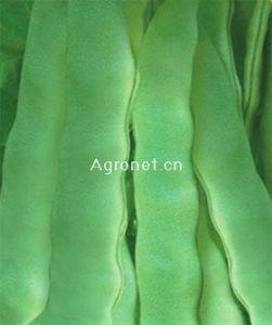 供应金星绿丰王—菜豆种子