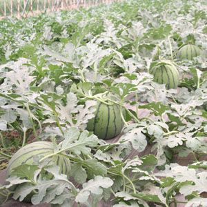 供应新干线一号—西瓜种子
