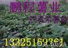 yabo80富硒紫甘薯—甘薯种子