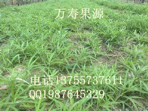 yabo80藜蒿种苗