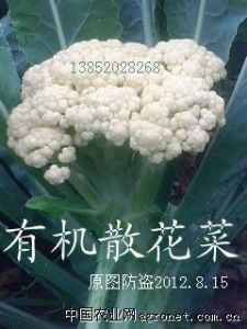 求购散花菜(青梗菜花)
