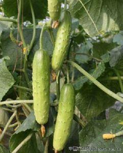 供应海诺四号—黄瓜种子