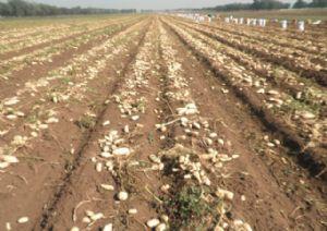 供应 农科院2014一级脱毒土豆种子