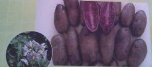 供应紫玫瑰1号—马铃薯种子