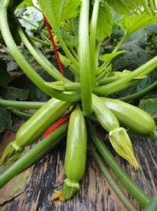 供应绿宝丰—西葫芦种子