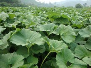 yabo80山露菜(蜂斗菜)种苗