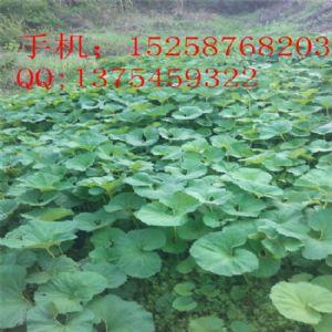 长期大量出售 山露菜  蜂斗菜种苗