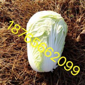 昌邑87、义和秋、秋宝大白菜大量上市