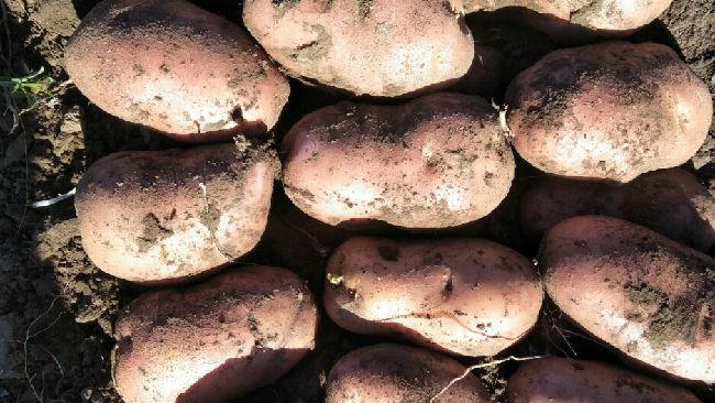 河北承德围场_荷兰十四土豆 二两通货