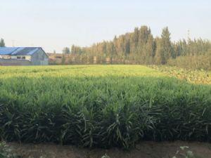 生姜供应(10亩)