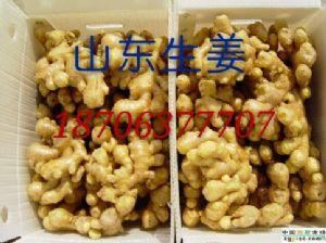 常年供应优质大姜 小黄姜 姜母