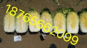 大量yabo80黄心秋宝、义和秋、87-114白菜