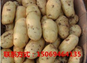 土豆供应 荷兰15