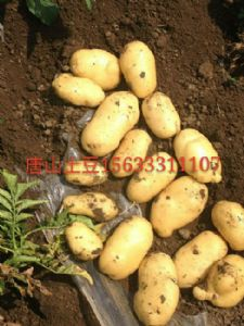 荷兰十五土豆 大量供应