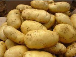 大量供应辽宁荷兰十五土豆
