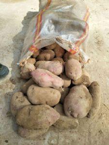 出售丽薯6号和红土豆