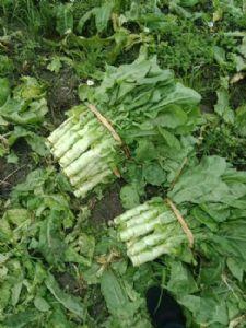 四川彭州莴苣种植基地