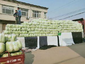 北京三号白菜,新三号白菜yabo80