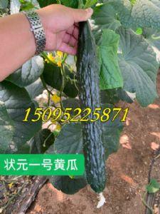 状元一号黄瓜黑绿油亮强雌抗病高产青瓜种子苗子