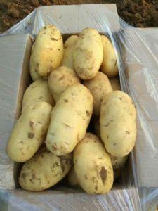山东土豆,肥城荷兰十五土豆,平阴土豆大量供应