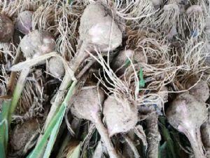 求购紫皮大蒜蒜种