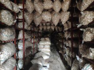 蒜米料,出口蒜存储,加工