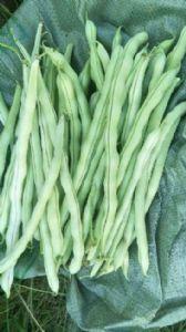辽宁兴城豆角大量批发,辽西最大豆角种植基地