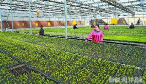 长期供应各种优质蔬菜苗