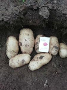 新起土豆上市供应400吨,价格优惠