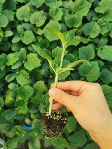 黄瓜种子,种苗供应