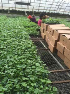 黄瓜种苗 强雌黄瓜苗 绿瓤短把密刺油亮型黄瓜苗品种