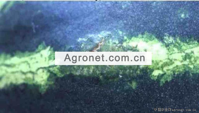 球茎茴香灰霉病