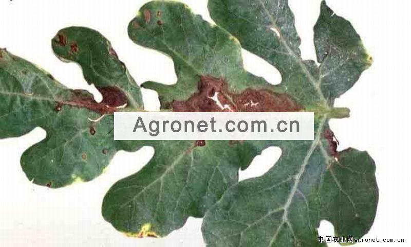 莴苣基腐病的防治