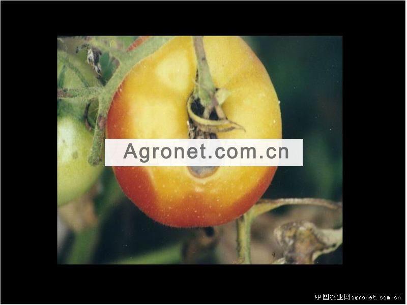 玉米大斑病 圆斑病的综合防治