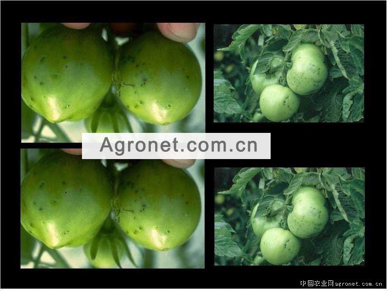 黄花菜褐斑病的防治