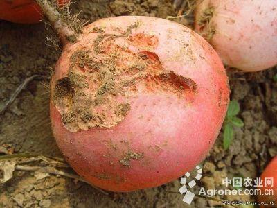 萝卜蛴螬的防治