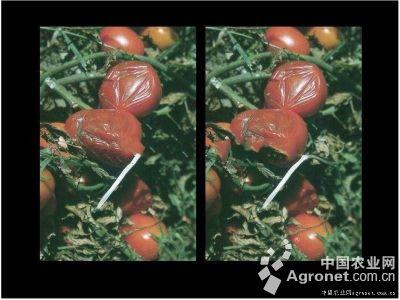 番茄腐败病的防治