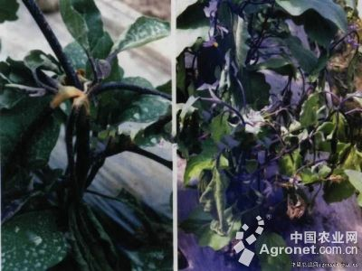 茄子菌核病的防治