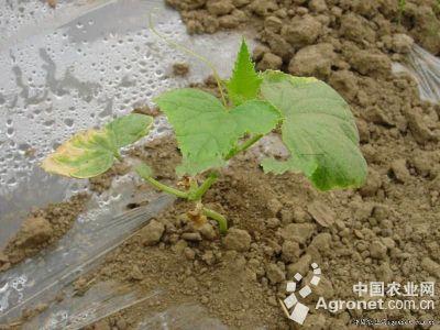 黄瓜缓苗异常的防治