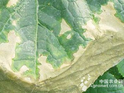 黄瓜氨害的防治