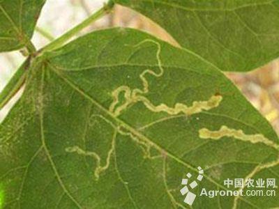 茄子美洲斑潜蝇的防治