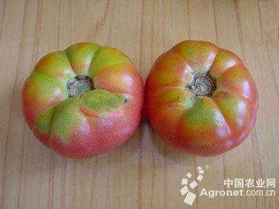 番茄绿背果的防治