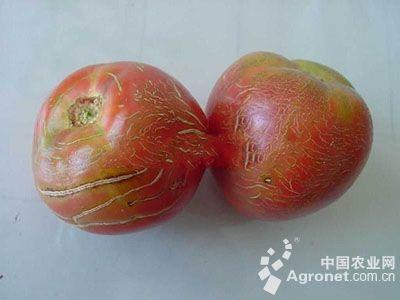 番茄混合状纹裂果的防治