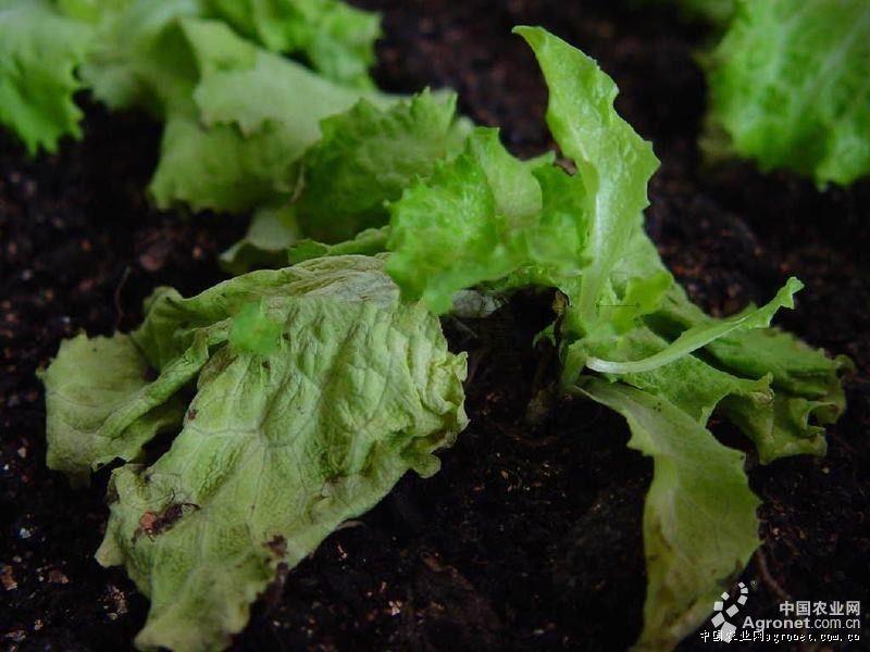 生菜枯萎病的防治
