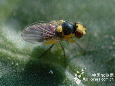 番茄美洲斑潜蝇的防治