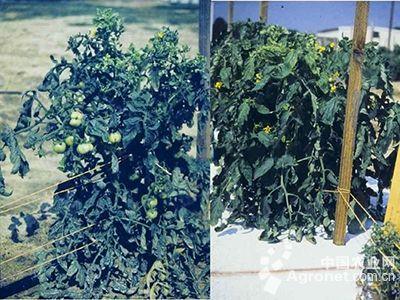 番茄黄化曲叶病毒病的防治