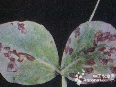 豌豆细菌性叶斑病的防治