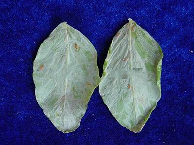 豌豆潜叶蝇的防治