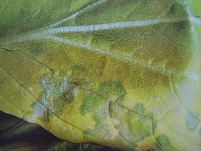 小白菜白锈病的防治