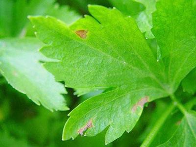 芹菜早疫病的防治